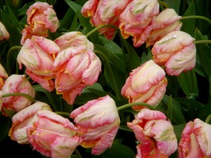 canary tulips