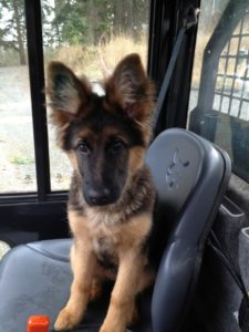 Kipling puppy loves to do her chores as a work dog at islewood farm; her long coat German shepherd roots are showing.